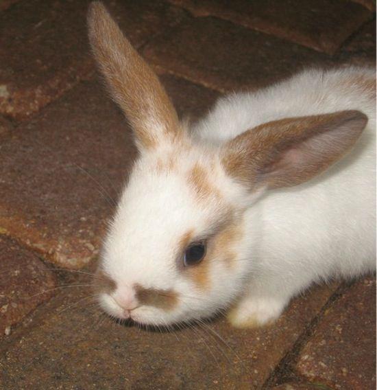 Mustachio Bunny
