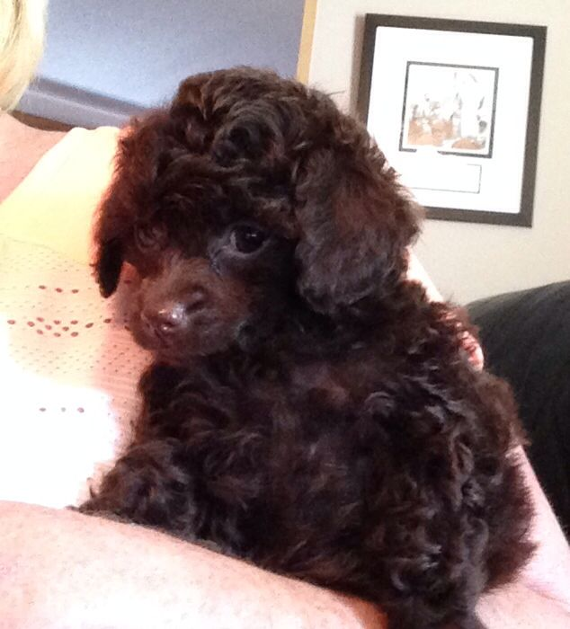 Beautiful Brown Toy Poodle Baby Girl Brown Toy Poodle Toy