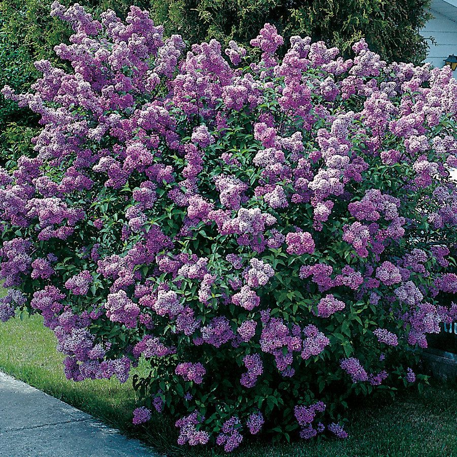 Lavender Lady Lilac Shrub Supposed To Do Well In Georgia