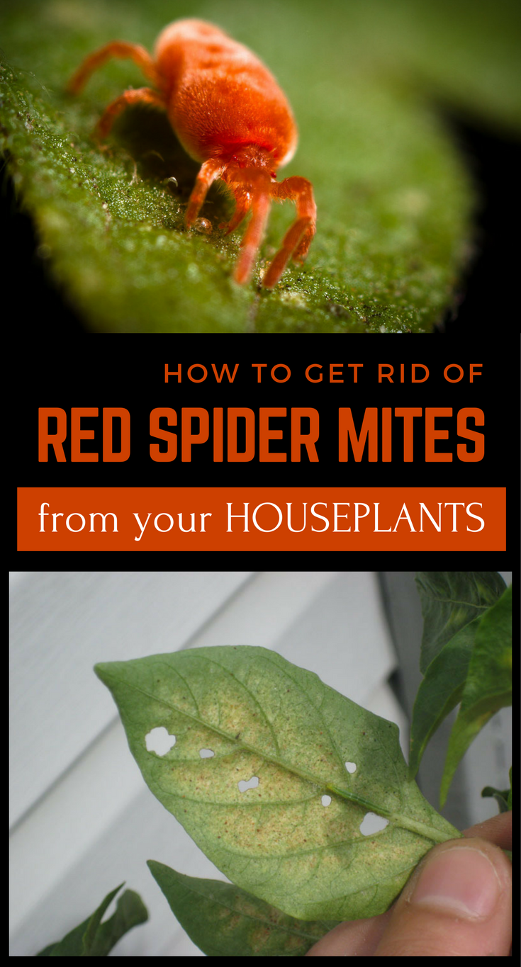 I am not one for chemical solutions. I like to keep my ... Red Spiders Houseplants on ornamental grasses red, nature red, flowers red, berries red, cactus red, peppers red, pots red, orchids red, design red, mums red, animals red,