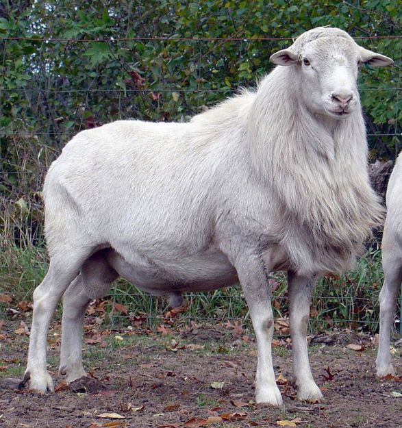 St  Croix Hair Sheep Ram | Animals | Sheep breeds, Sheep