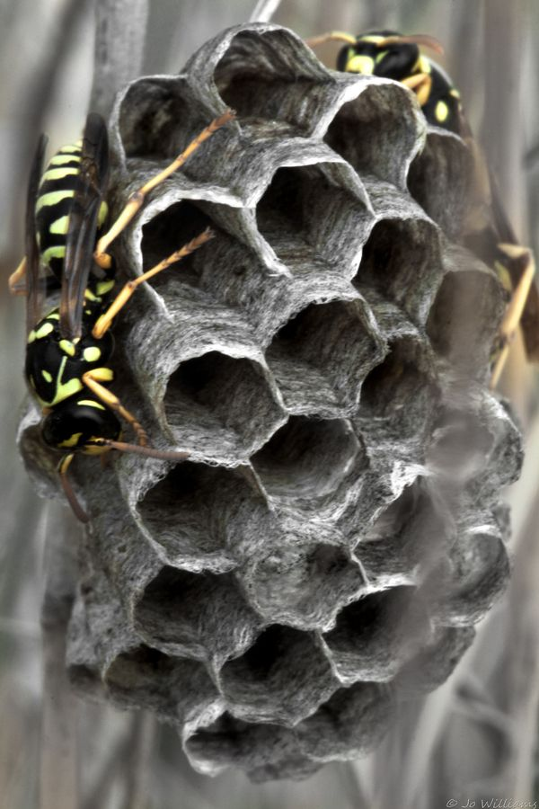 Paper Wasps!  Call A1 Bee Specialists in Bloomfield Hills, MI today at (248) 467-4849 to schedule an appointment if you've got a stinging insect problem around your house or place of business!  Visit www.a1beespecialists.com for more information!