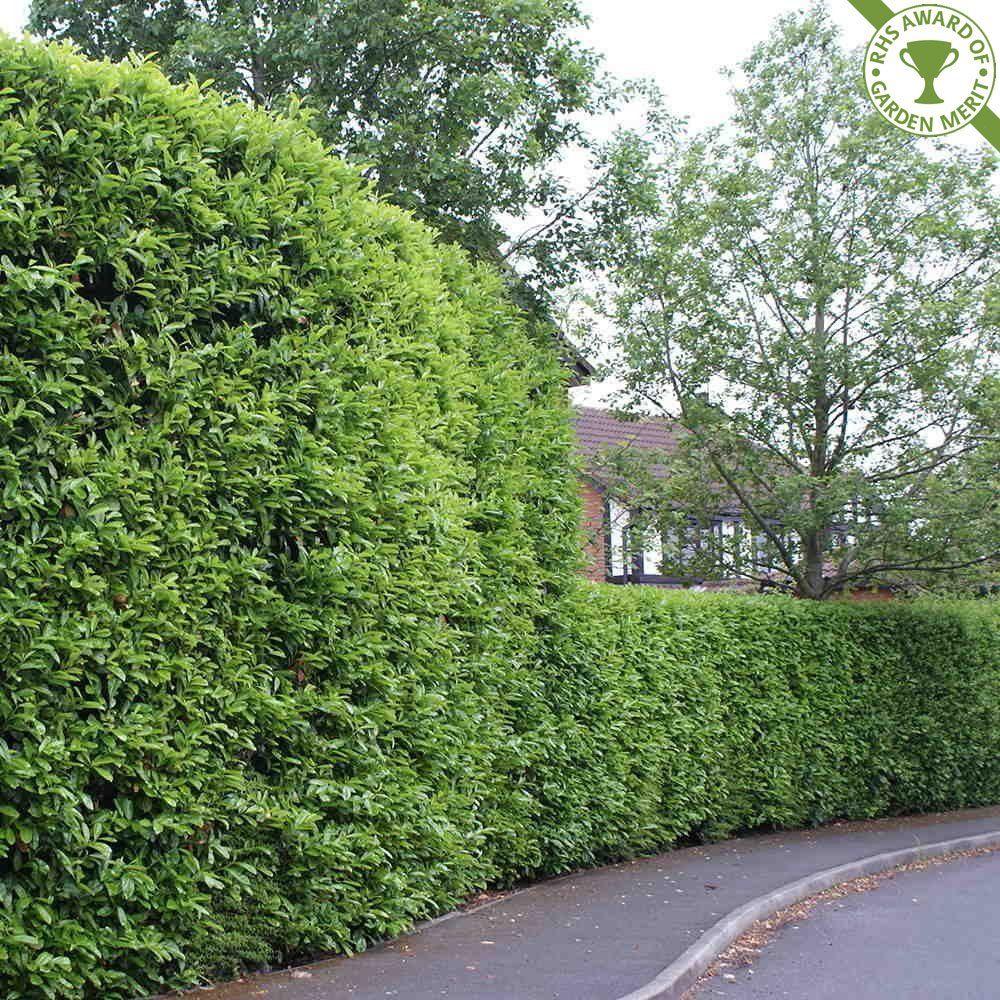 Image result for cherry laurel hedge