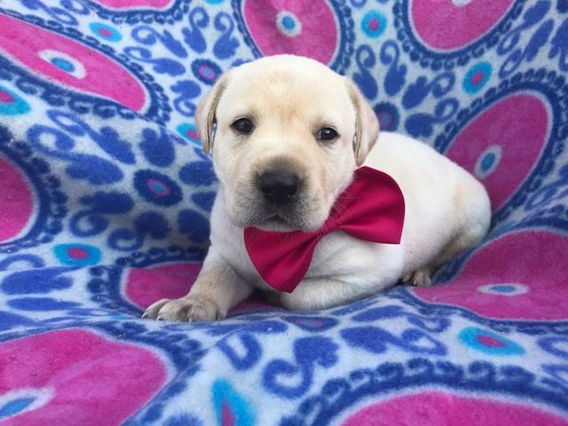 Labrador Retriever Puppy For Sale In Quarryville Pa Adn 42588 On