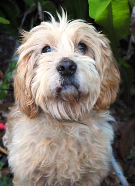 Hello There My Name Is Harley I Have Come Into The Rspca In Noosa To Get A Second Chance At Finding A Furever Family I M Hopin Adoption Pets Cocker Spaniel