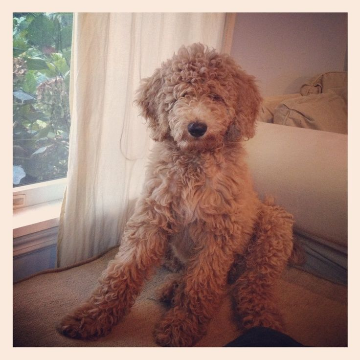 Standard Poodle Ungroomed Google Search With Images Poodle