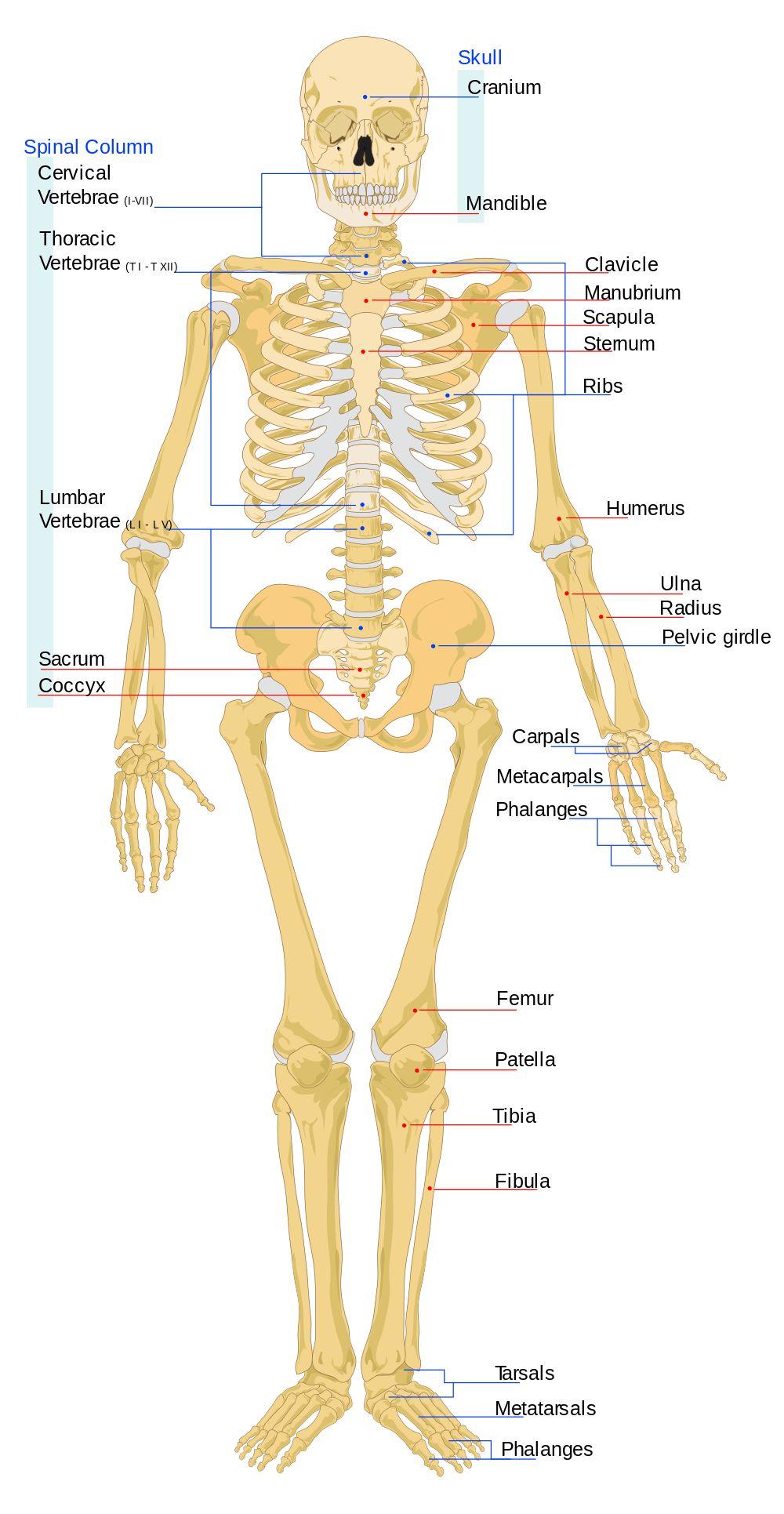 small resolution of diagram of sternum diagram of sternum sternum connors science lab diagram of sternum area