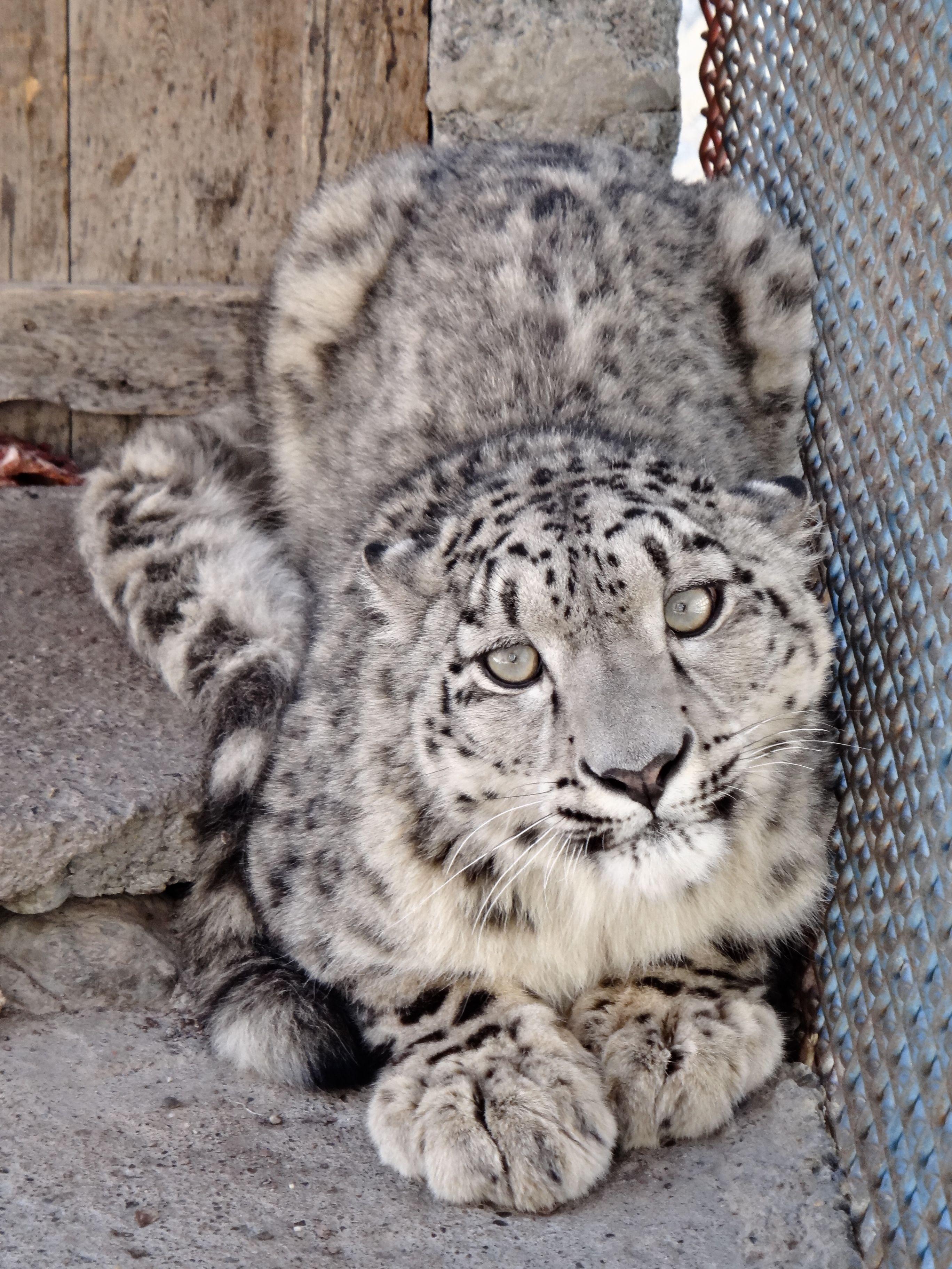 The snow leopard of Gilgit Balistan , Pakistan Wild