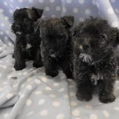 Fantastic Wauzer Puppies For Sale In Cardigan Pembrokeshire