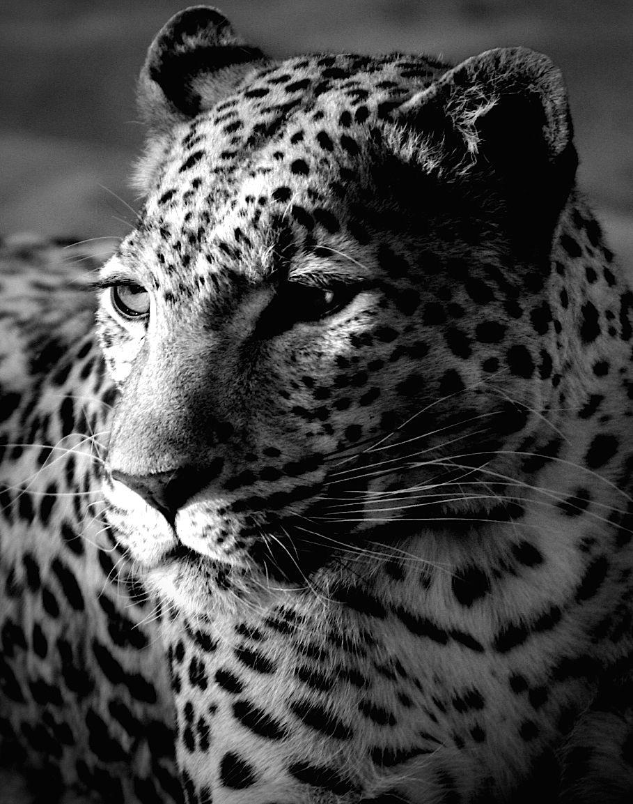 Leopard White iphone background, Tiger wallpaper, Black
