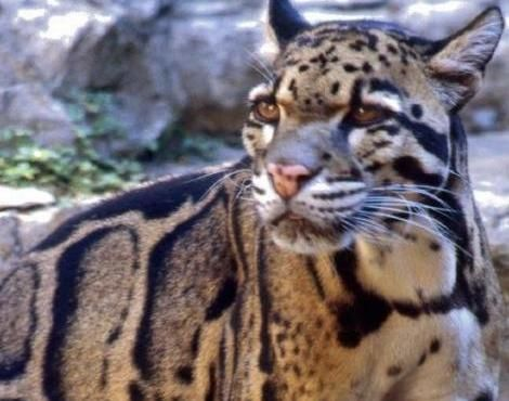 One of the most beautiful and endangered big cats. The ...