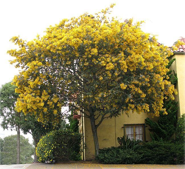 Bailey Acacia In 2020 Acacia Baileyana Mimosa Tree Flowering Trees