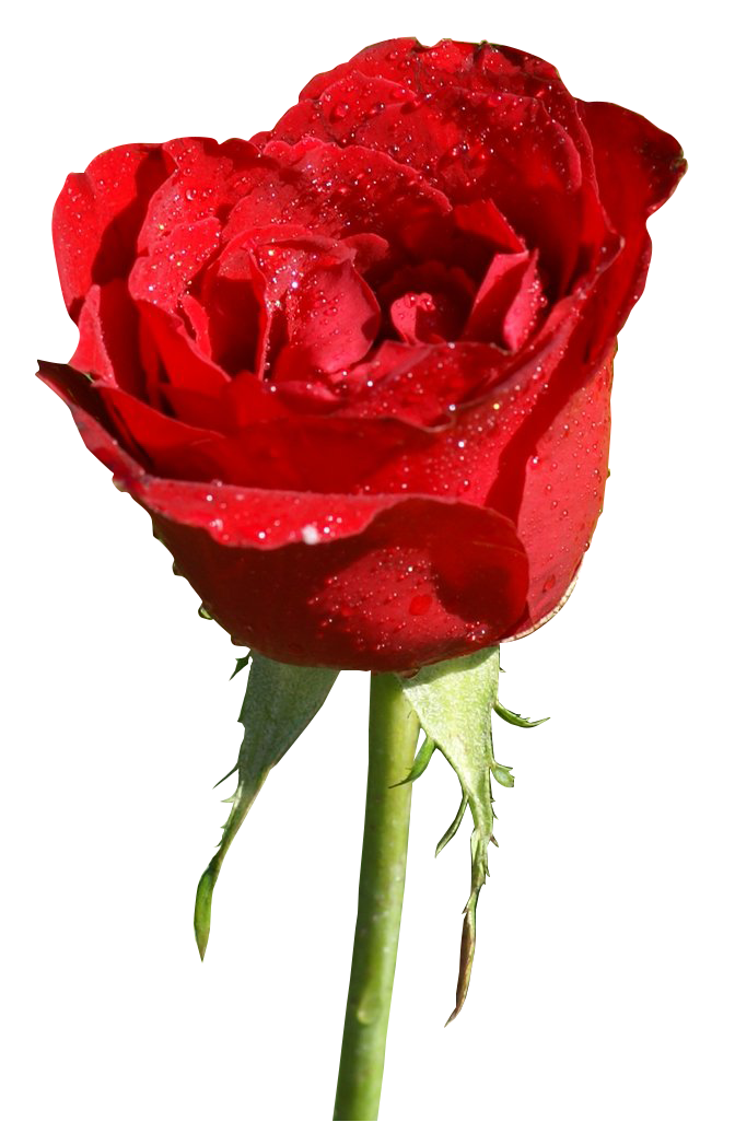Pin by María Rodríguez on Red Roses (With images) Red