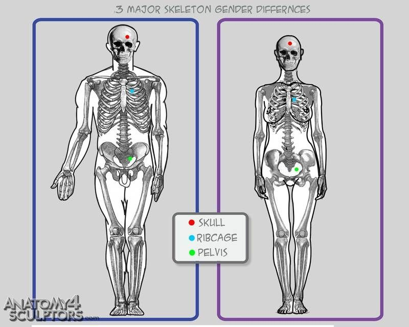 Male and female skeleton differences | The torso | Pinterest ...