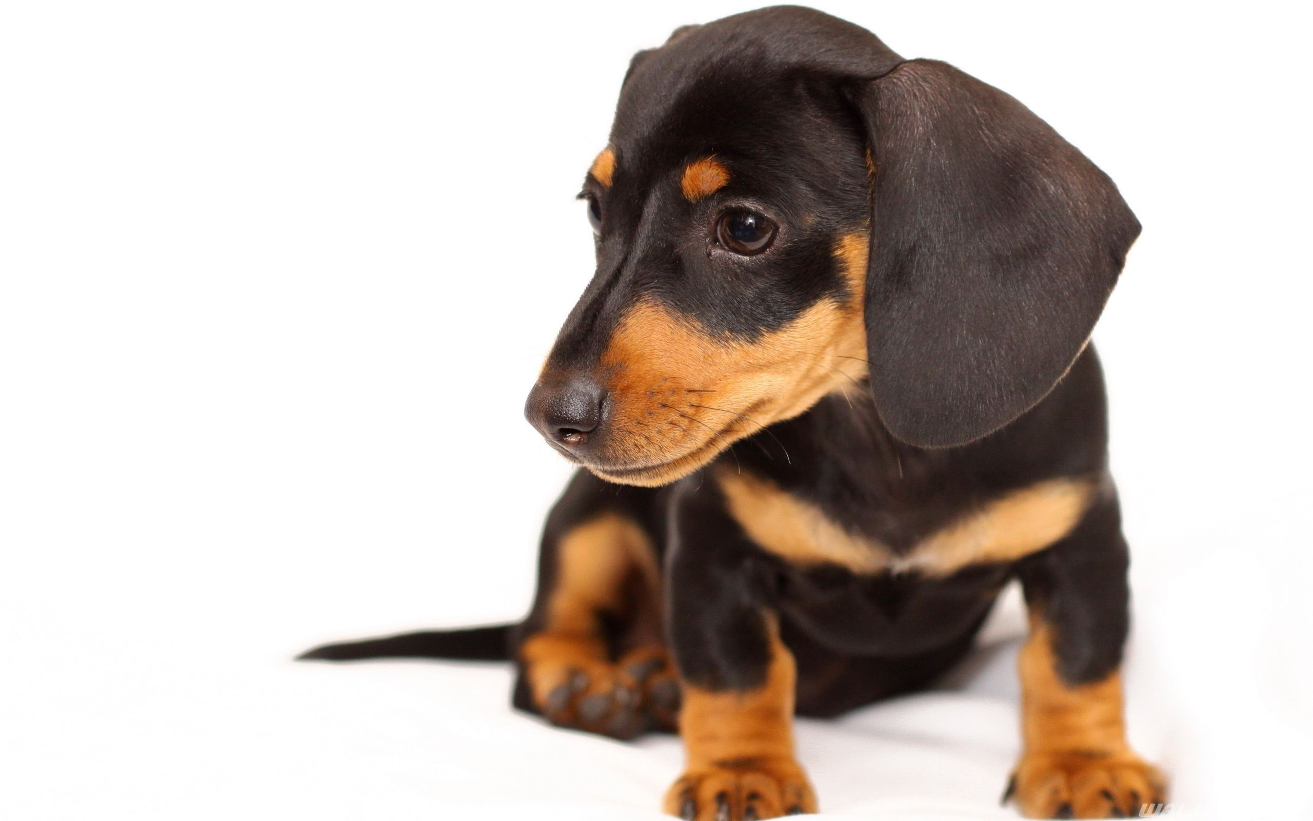 Doxie Puppy Wallpaper Dachshund Puppies Doxie Puppies