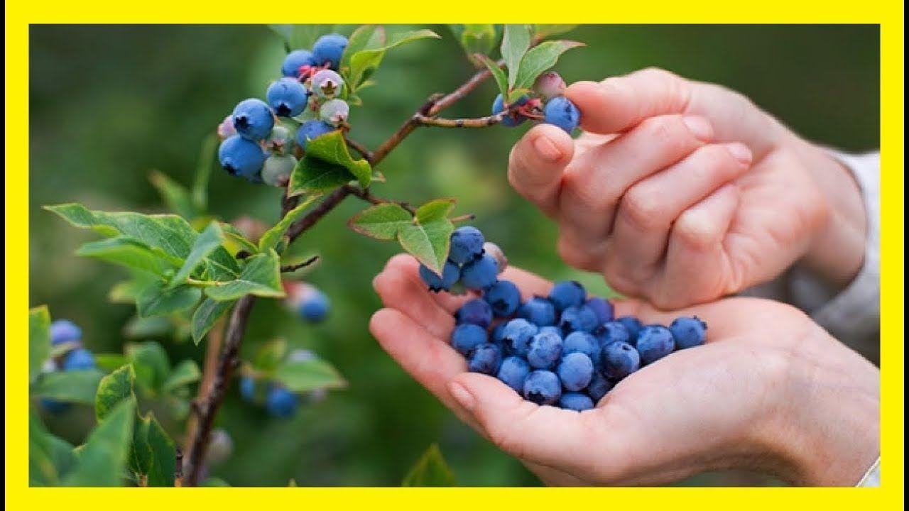 Cómo Obtener Cantidades Ilimitadas de Arándanos (Blueberries) en el Patio de tu Casa. – Ideas Gourmet