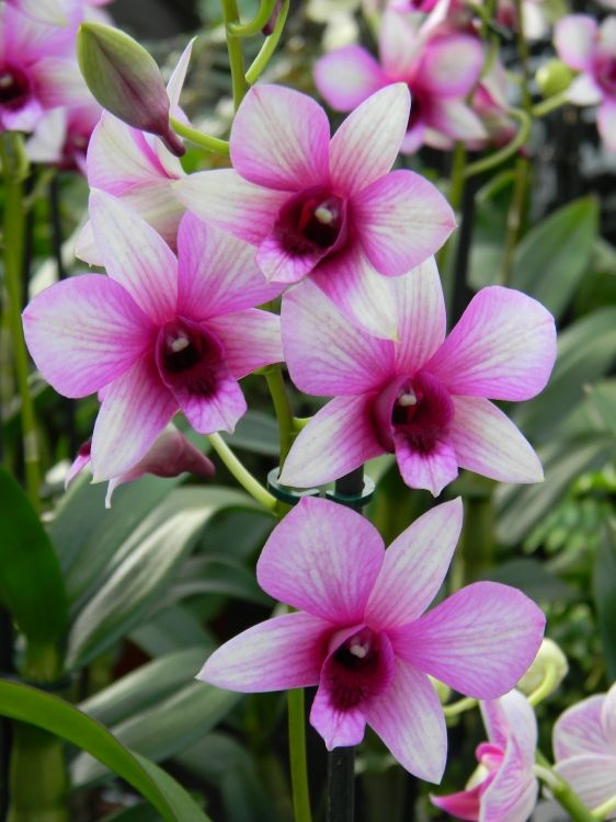 Dendrobium Phalaenopsis Dendrobium Orchid Dendrobium Orchids Phalaenopsis Pretty Plants