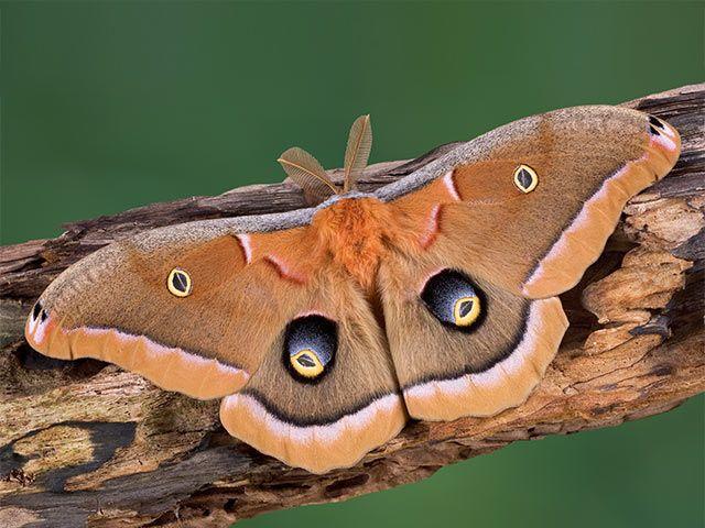 Pin Von Petra D Auf Insekten Nachtfalter Schmetterling Motte