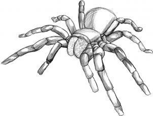 How To Draw A Tarantula Spider Step 5 Spider Art Spider