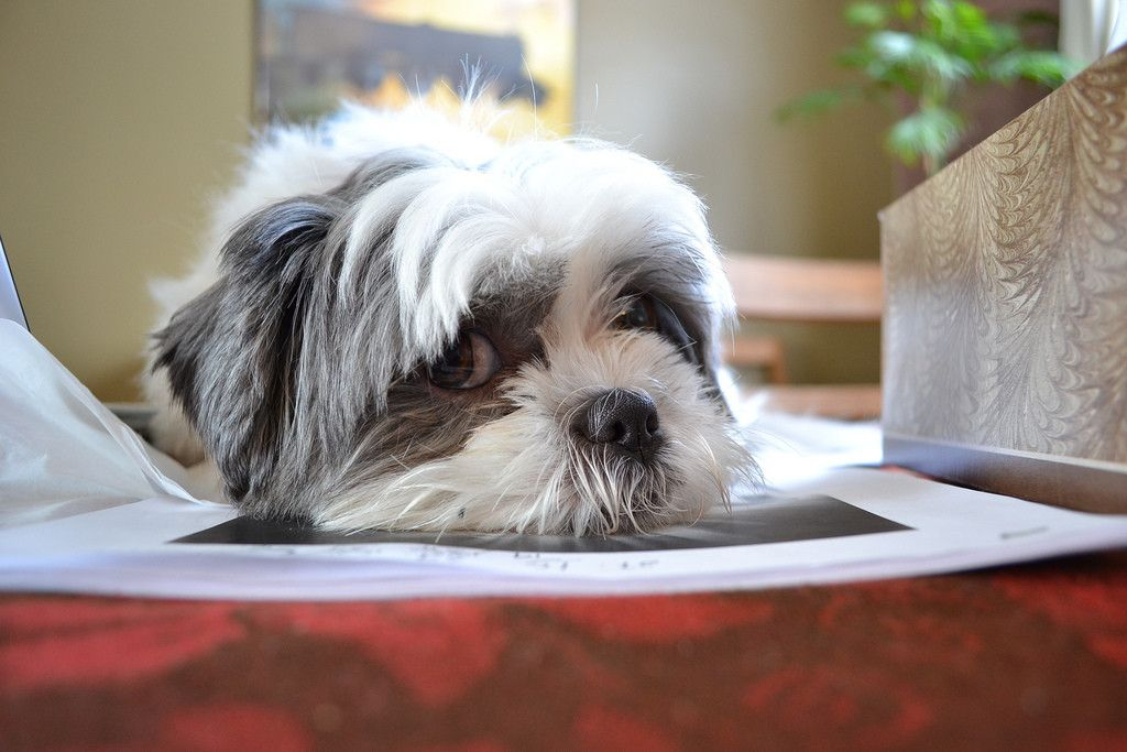 11 Best Dogs For Apartments In The City Shih Tzu