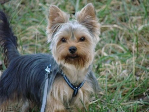 Frisur Yorkshire Terrier Frisuren Pinterest Yorkshire Terrier