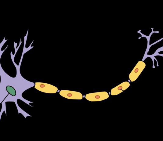Neurona, que son las neuronas, estructura de la neurona y funciones ...