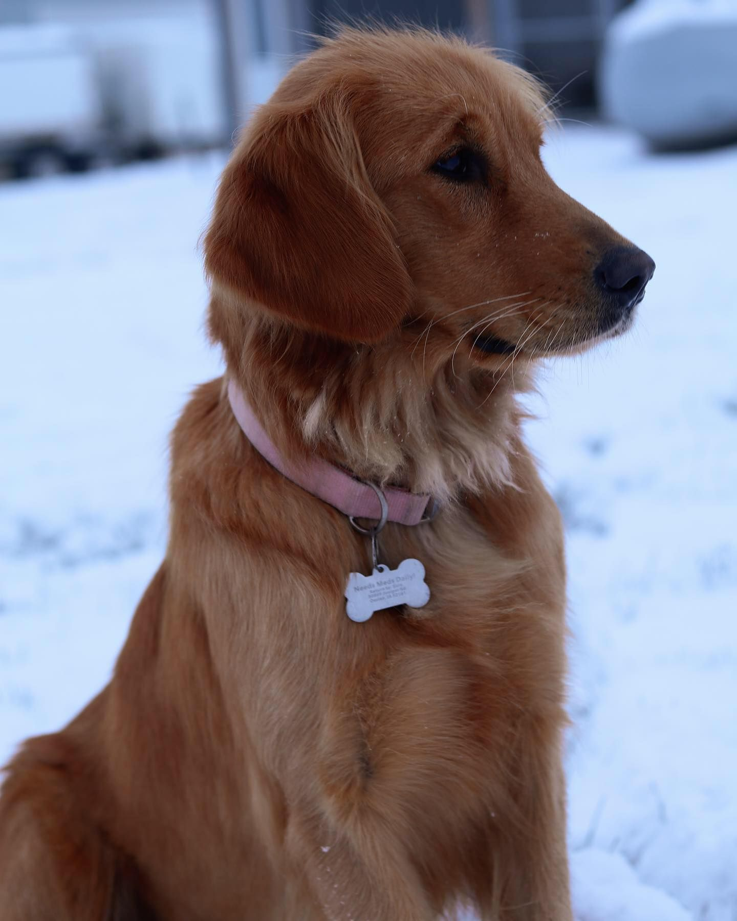 Golden Retriever Dark Red Golden Retrievers Golden Retriever
