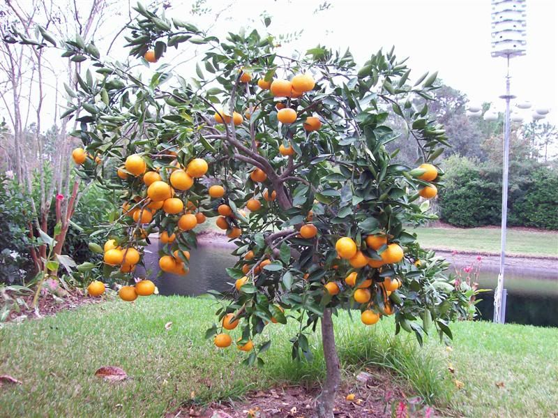Pair of Charlie Brown satsumas in the front yard yes yes