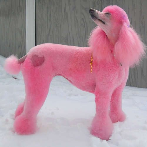 Tillie At Dogsey Com This Is A Perfect Pink Poodle Even Has A