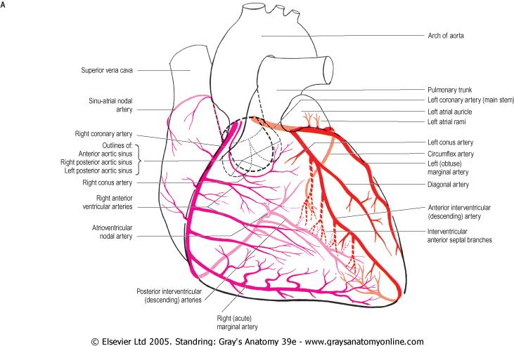 Coronary Artery Cardiovascular Pinterest Anatomy Cardiac