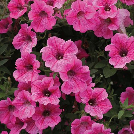 Transplanting Annuals Petunia Surfinia Pink Vein Trails Vigorously