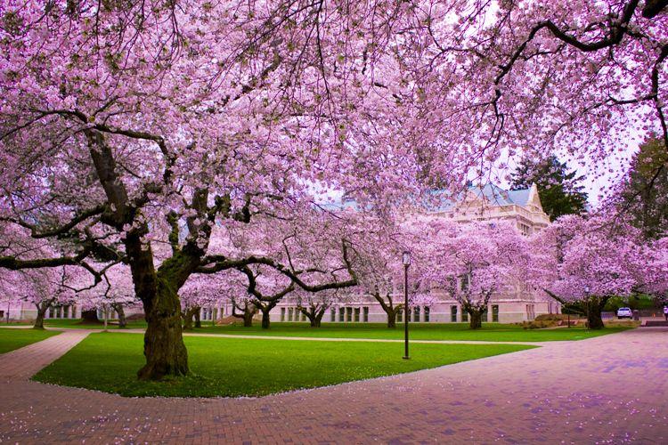 Cheery Blossom Trees Blossom Trees Cherry Blossom Tree Cherry Blossom Festival