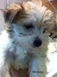 Adopt Bandit Mickey Lulu Hobie On Terrier Mix Dogs Animals Dogs
