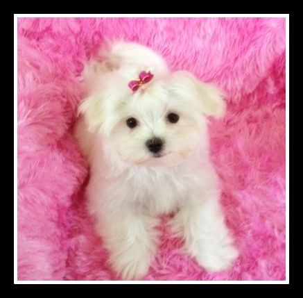Maltese Breeder And Holistic Puppy Dog Food In Erie Pa Silver