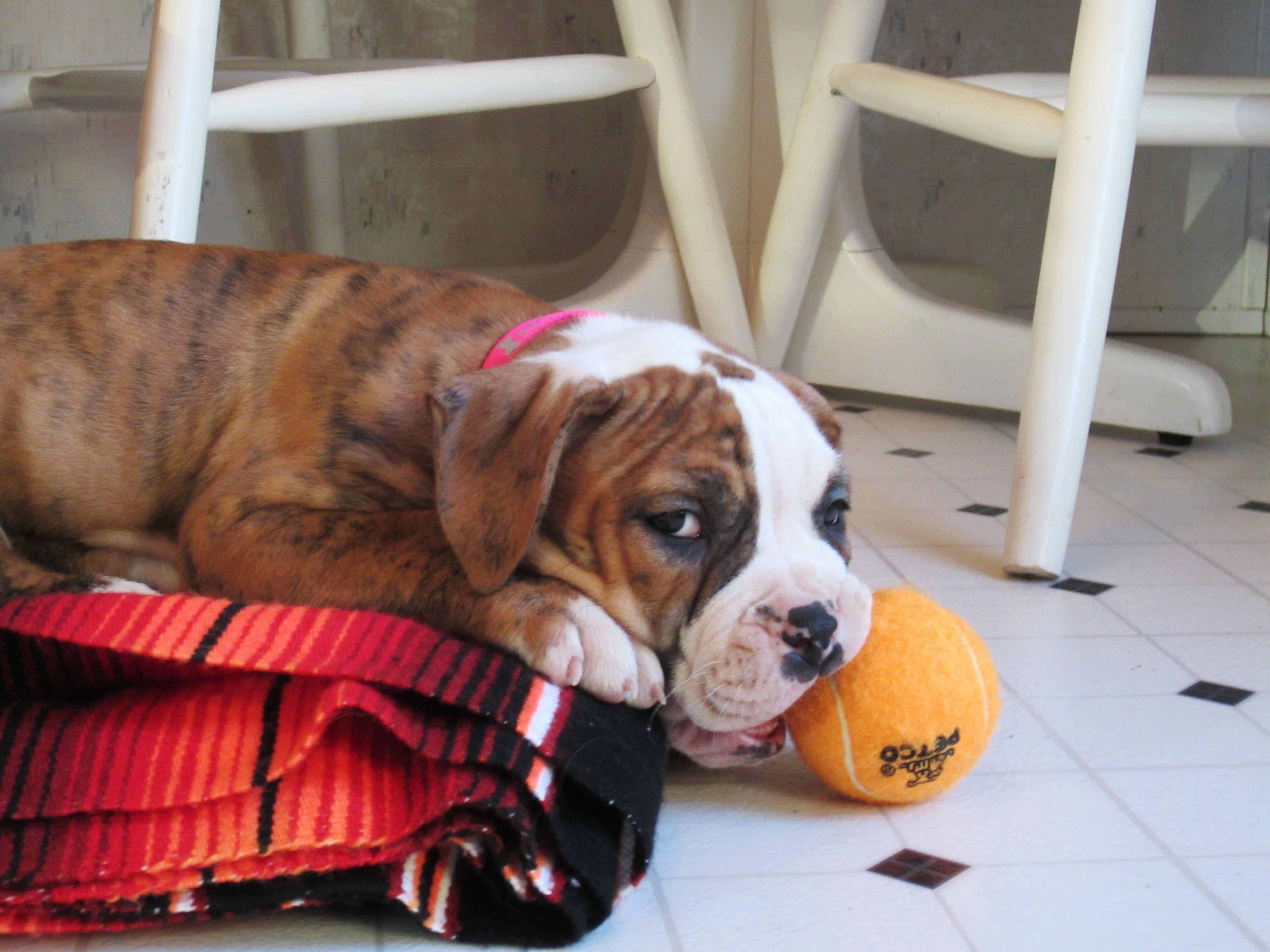 Play With Me My American Bulldog Puppy American Bulldog