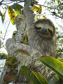 """Sloths: All sloths have three toes, but """"two-toed"""" sloths only have 2 claws. Sloths often hunt in packs. They can move quickly and will slash with their large claws – the slow-moving behavior is to avoid predators like hawks. They hang most of their lives. Sloths typically have over 600 species of bacteria, plants and animals living on them at any given time, and will often feed on themselves when they are hungry. (Algae is the main snack.) Famously, sloths s can rotate their heads 270…"""