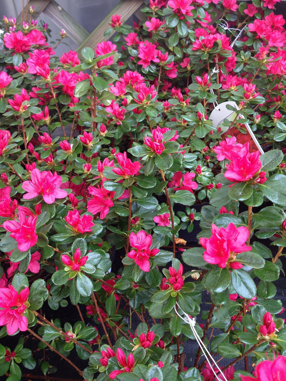 Azalea Japonica (Evergreen Azalea) Spring flowers