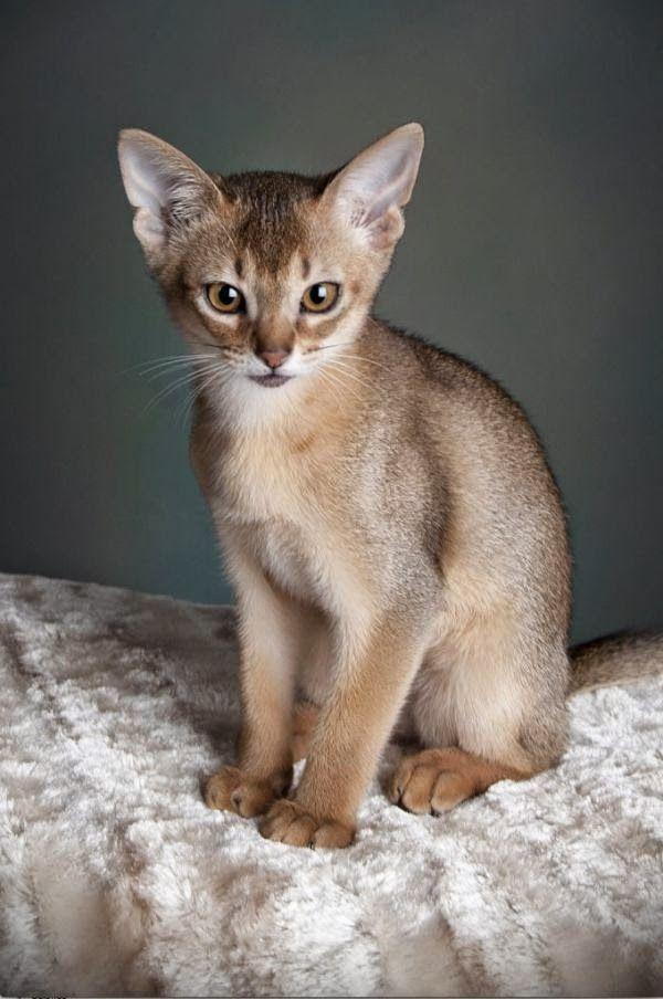 Gato Singapura El Gato Mas Pequeno Del Mundo Gatos Tiernos Abyssinian Cats Cute Cats And Dogs Cat Breeds