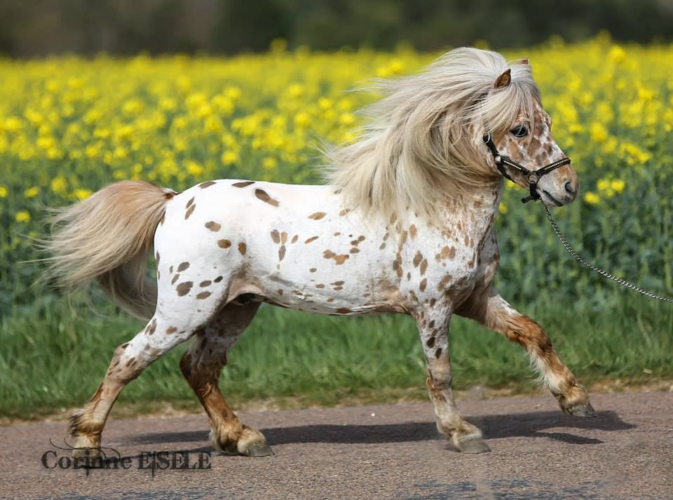 Appaloosa Miniature Horse Horses Little People Pinterest - Adorable miniature horses provide those in need with love and care