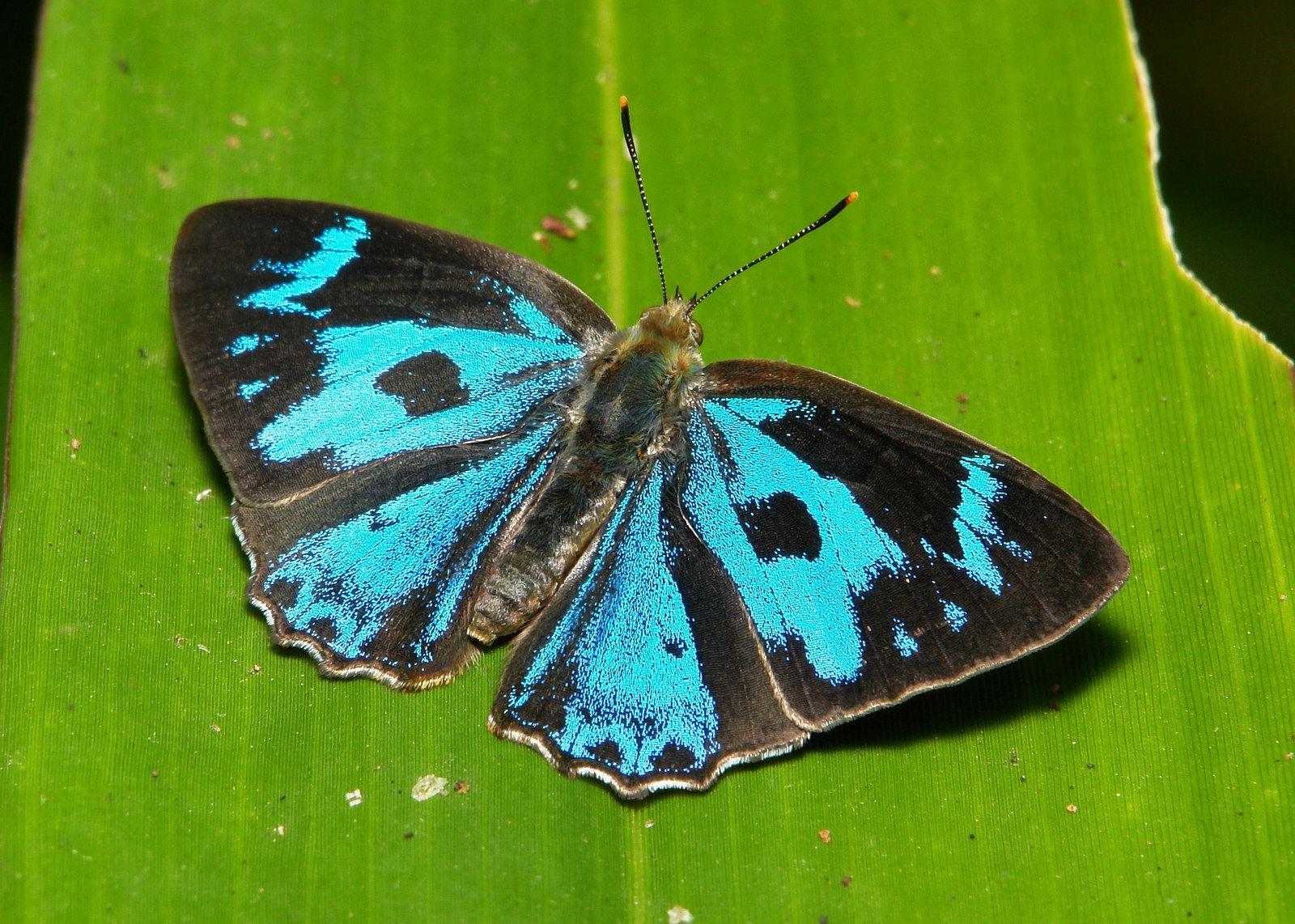 Male Blue Gem (Poritia erycinoides, Lycaenidae) | by John Horstman (itchydogimages, SINOBUG)
