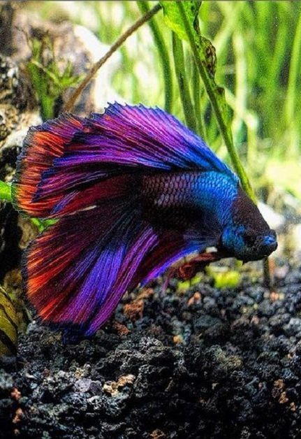 Beta fish time for another one nature pinterest for What fish are compatible with betta fish