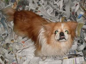 Adopt Pp 4 Fred On Pekingese Dogs Animals Dogs