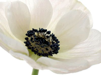 white poppies - Google Search | I\'m getting married! | Pinterest ...
