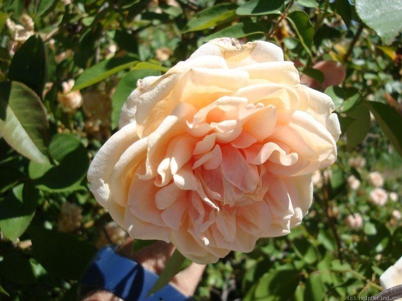 'Rêve d'Or' Rose Photo