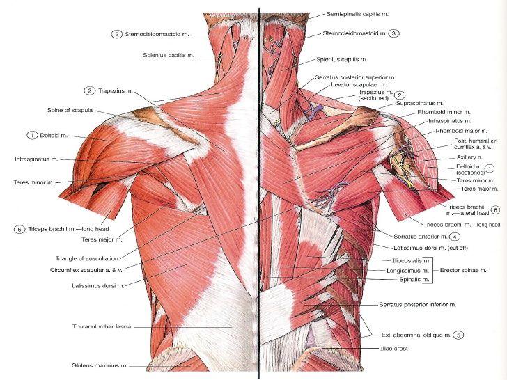 Pin On Human Body Anatomy