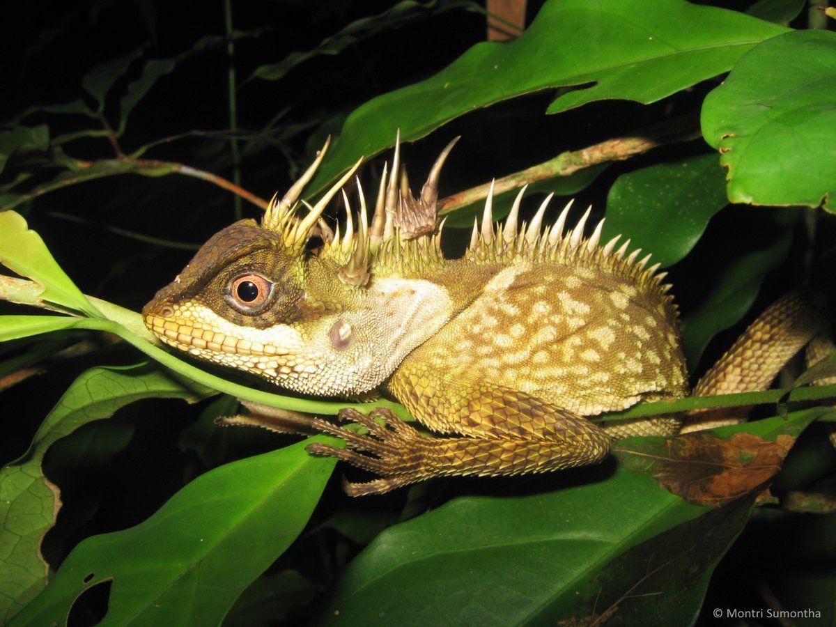 Great Mekong new species Greenpeace Lizard, Animal