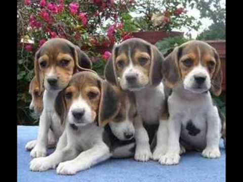 Best Small Leg Beagle Adorable Dog - 936fa5c4377917e19dcffab09191ef00  Best Photo Reference_642965  .jpg