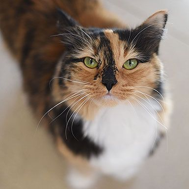 Adopt From Our Sanctuary Cats That Dont Shed Siberian Cats For Sale Dog Deals
