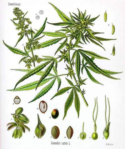 rosemary herb diagram wiring diagram originthis image shows a diagram of the hemp plant botanical prints lemon balm herb rosemary herb diagram