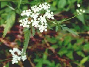 Missouri wildflowers: Hedge Parsley - Torilis arvensis